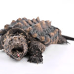 Alligator Snapping Turtle Care Guide