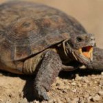 American Snapping Turtle