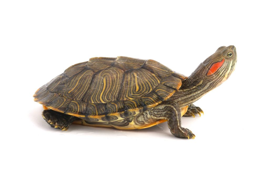 How to Clean Your Red-eared Slider Turtle's Shell
