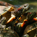 Red Eared Slider Turtle [Complete Care Guide]