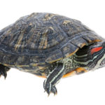 Red Eared Slider Turtle Tank Setup