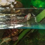 The Best Tank for a Red-eared Slider