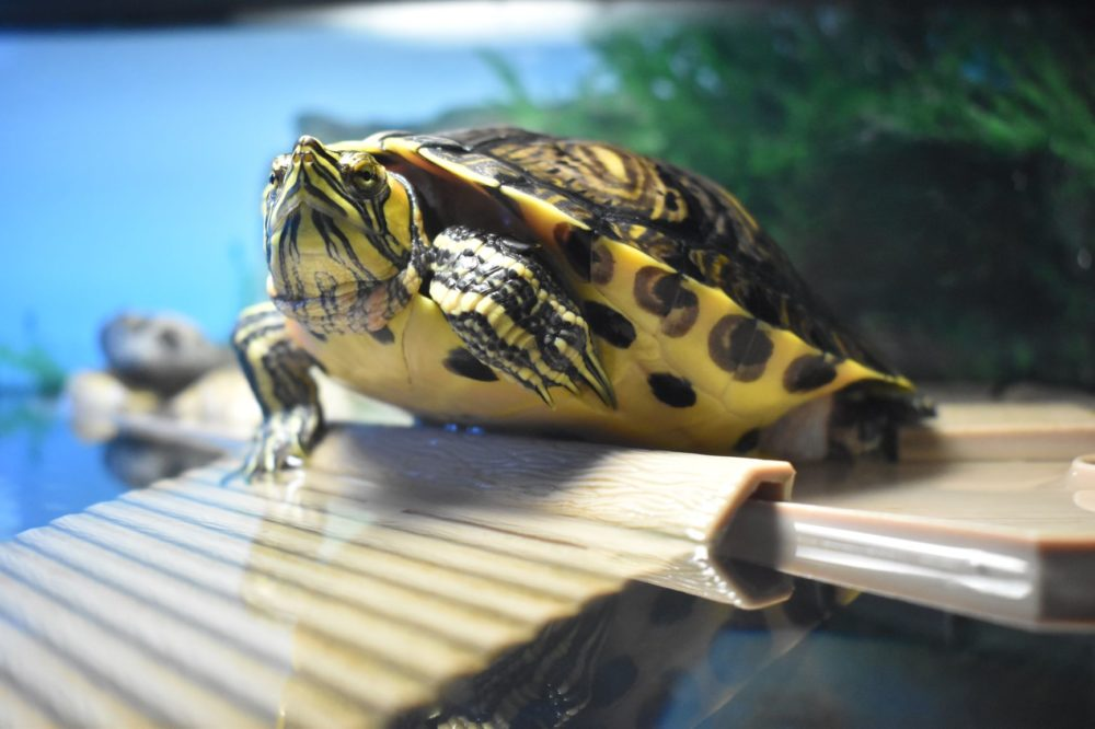 The Best Turtle Basking Platform Ideas