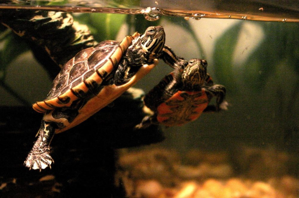 The ideal painted turtle tank setup