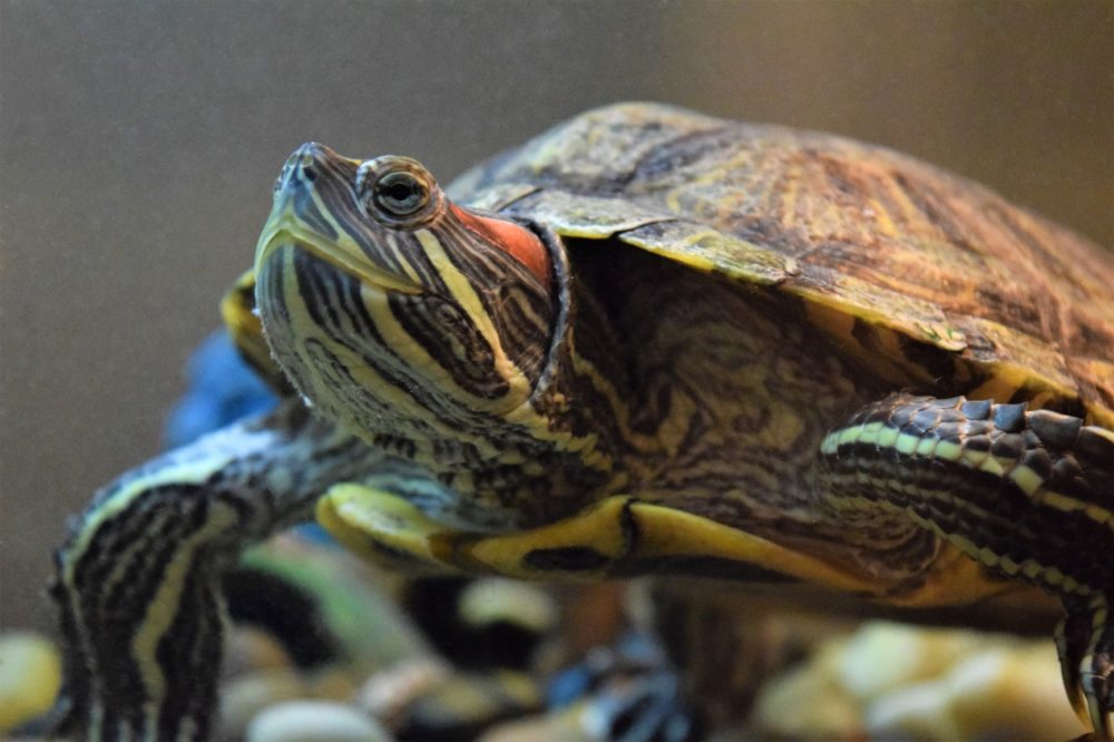 Turtle Shedding (A Complete Guide)