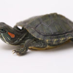 What You Need to Know About Baby Red-Eared Slider Care